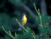 Kirtland´s Warbler (Dendroica kirtlandi) male in jackpine. Near Mio, Michigan, Oscoda County.