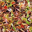 Venus flytrap (Dionaea muscipula) in Wilmington, NC.