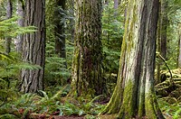 Giant cedars and Douglas fir trees, old-growth forest. Cathedral Grove, MacMillan PP, BC, Canada