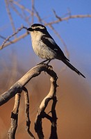 Common Fiscal (Fiscal Shrike), Lanius collaris, Kgalagadi Transfrontier Park, Kalahari, South Africa