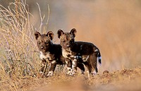 Wild Dog (Cape Hunting Dog), pups,Lycaon pictus, Kruger National Park, South Africa