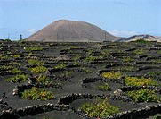 Vineyards growing on volcanic ashes. La Geria. Lanzarote, Canary Islands. Spain