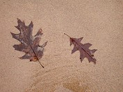 High angle view of two dried leaves