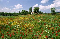 Poppies and Wild Flowers, Tuscany, Italy