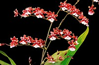 Orchids (Oncidium Sharry Baby)