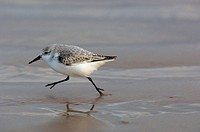 Sanderling (Calidris alba) waling on beach, Donna Nook National Nature Reserve, England. UK
