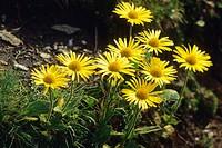 Arnica flowers. Alpe Devero, Verbania, Piemonte, Italy