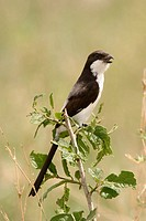 Common fiscal or fiscal shrike (Lanius collaris). Serengeti National Park, Tanzania