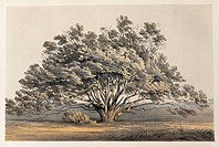 geography / travel, USA, landscapes, manzanita, colour lithograph for ´Reports of explorations and surveys to ascertain the most practicable route for...