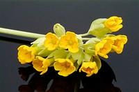 Primula officinalis, cowslip, medicinal herb.