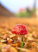 Fly agaric mushroom (Amanita muscaria). Among some leaves at autumn. Medle. Vasterbotten. Sweden