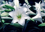 Close-up of Easter Lily flowers
