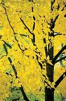 Close-up of a maple tree, USA