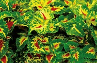 Colorful green and yellow coleus