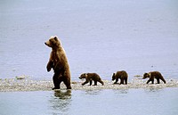Grizzly bear mother and three cubs (Ursus arctos horribilis). Brooks river, Katmai National Park, Alaska, USA