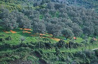 italy, marche, olive trees