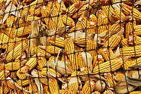 Wisconsin. Kenosha County Wooden and wire corn bin full of ears of ripe field corn following harvest, stuffed full