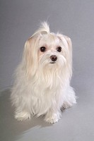 pet dogs pictures like hunting dog, lap dog, Maltese, etc