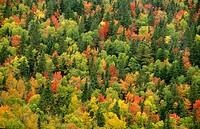 Autumn tree canopy, Foret des Laurentides, Quebec, Canada