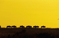 Wildebeest migration silhouetted at dawn, Kenya, Africa