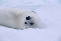 Whitecoat mother harp seal (Phoca groenlandica), Canada