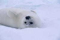 Whitecoat mother harp seal (Phoca groenlandica), Canada