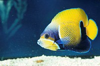 Majestic or blue girdled angelfish (Euxiphipops navarachus, tropical reef fish, Pacific
