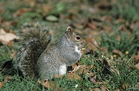 Eastern grey squirrel with Winter coat eating on ground, USA