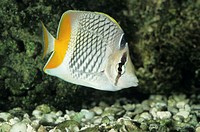 Pearscale, yellowtail butterfly fish (Chaetodon xanthurus), tropical reef fish, W. Pacific