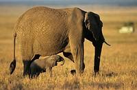 African elephant (Loxodonta africana) with baby, Kenya, Africa