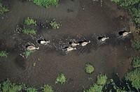 Burchell´s zebras (Equus burchelli), Kenya, Africa, (Aerial view)