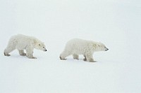 Polar bear (Ursus maritimus) cubs, Canada