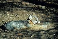 Kit fox lying on ground, North America