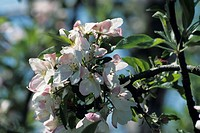 Apple orchard in bloom, late Spring, close-up