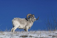 Dall sheep on snow with skyline