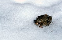 Mating of common frogs in the snow during the spawning season - French Alps - Haute Savoie
