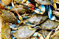 Close-up of a heap of crabs, Annapolis, Maryland, USA