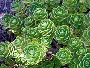 Plant (Crassula sp.)
