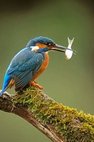 Eurasian kingfisher, male with fish (Alcedo atthis). Germany.
