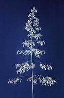 Inflorescence of Kentucky bluegrass (Poa pratensis).