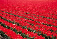 The Netherlands, Red tulip field