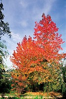 Sweet gum tree in autumn