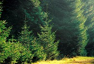 Spruces forest