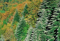Spruces and broad-leaved trees