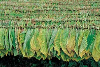 Valle de Los Vinales, cigar's tobacco leaves drying