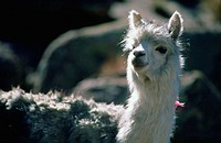 Chile, Altiplano, llama