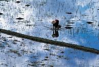 Vietnam, rice paddle