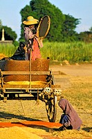Myanmar, near Monywa, winnowing rice