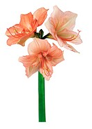 Amaryllis (thumbnail)