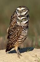 Burrowing Owl. Athene cunicularia. Everglades N.P. Florida, USA